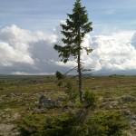 В Швеции ученые обследуют ель которой 9550 лет