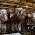 У россиян будут забирать лишний скот из домашних хозяйств