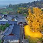 1400–летнее дерево превратило землю около буддийского храма в желтый океан