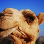 На израильских верблюдов установят GPS