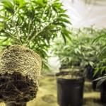 Жители Калифорнии смогут проголосовать за легализацию марихуаны