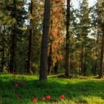 Израильтяне посадили 95% лесов своей страны