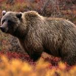 Канадец-пенсионер отбился от медведя с помощью бокса
