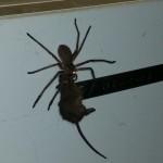 В Австралии гигантские пауки охотятся на мышей