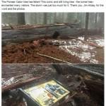 В Калифорнии упала знаменитая секвойя с тоннелем в стволе