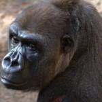 Умерла самая старая горилла в мире