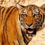 В китайском зоопарке бросили живого осла на съедение тиграм