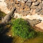 В Краснодаре поймали мужчину, который гулял с крокодилом на поводке