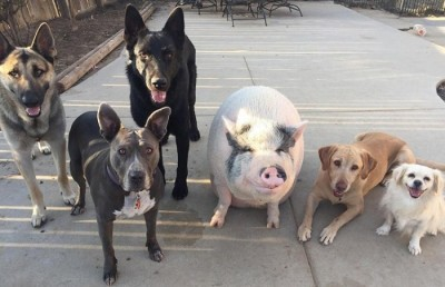 rp_pet-pig-piggypoo-and-crew-41.jpg