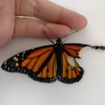 Девушка впервые пересадила бабочке сломанное крыло и та полетела (фоторепортаж)
