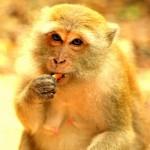 В Таиланде стаи голодных обезьян атаковали две деревни