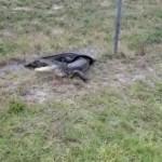 Найдя у себя дома крокодила, мужчина укутал его и отвез в подарок теще (видео)