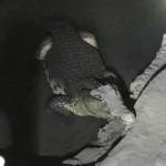 В Петербурге в подвале дома уже неделю плавает огромный нильский крокодил
