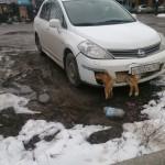 Депутат-единоросс из Таганрога сбил собаку и несколько дней ездил по городу с застрявшим в бампере ее трупом