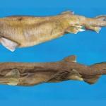 В сад жителя Британии с неба упала мертвая акула