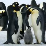 Сенсация — В Антарктиде нашли колонию с миллионами пингвинов (видео)