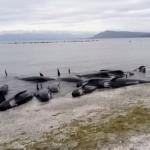 В Австралии на берег выбросились 150 дельфинов