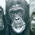 Что стало причиной кровавой четырехлетней войны среди шимпанзе? Ученые нашли разгадку.
