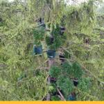 За самую плантацию конопли высотой 25 метров (!) в Германии осужден житель Аугсбурга