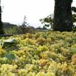 В Крыму падает урожайность винограда, оккупанты сократили посадки