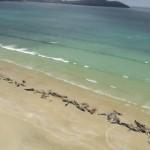 Почти 150 черных дельфинов выбросились на берег Новой Зеландии