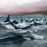 Массовая гибель дельфинов в Новой Зеландии: «У них стояли слезы в глазах»