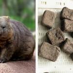 Ученые раскрыли секрет кубического кала вомбатов