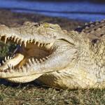 Австралийские крокодилы переплыли море и съели несколько иностранцев