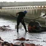 Япония решила в открытую убивать китов