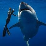 Дайверы сумели поплавать с одной из самых больших и опасных акул