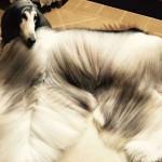 Собака с потрясающей прической стала любимицей соцсетей