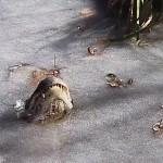 В США опять во льду замерзли крокодилы (видео)