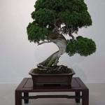 В Японии украли 400-летнее дерево. Хозяева попросили воров поливать его