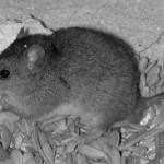 Австралия официально признала первое вымирание животных из-за изменения климата