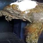 Ученые готовы возродить мамонтов
