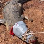 Поедавшего собак 600-килограммового крокодила посадили в тюрьму