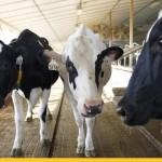 Британским коровам выдали ошейники с 5G (видео)