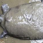 Самка редчайшей речной черепахи Янцзы умерла в Китае. В мире осталось всего три