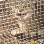 В Австралии убъют 2 миллиона кошек
