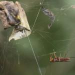 Ученые обнаружили ос, которые превращают пауков в зомби. И заставляют их выполнять приказы!