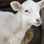 Во Франции фермер записал в школьный класс овец, чтобы спасти его от закрытия