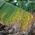Из-за изменений климата бананы на Земле могут исчезнуть