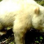 Единственную в мире панду-альбиноса сфотографировали
