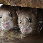 Крысам нравится играть с людьми в прятки — исследователи