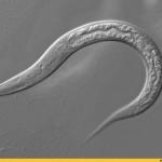 Ученые нашли способ продлить жизнь до 200 лет с помощью экспериментальных червей