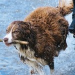Дикие собаки понимают жестикуляцию человека: исследование