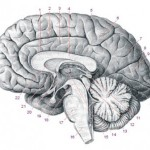 Ученые изучили сохранившийся мозг, которому больше 2500 лет