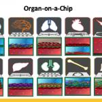 Исследователи из Израиля и США создали «мини-человека-на-чипе» для испытаний лекарств.